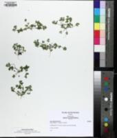 Ammoselinum butleri image