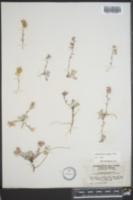 Lesquerella kingii subsp. latifolia image