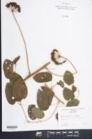 Smilax herbacea var. herbacea image