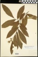 Castanea pumila var. ozarkensis image