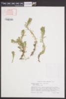 Facelis retusa image