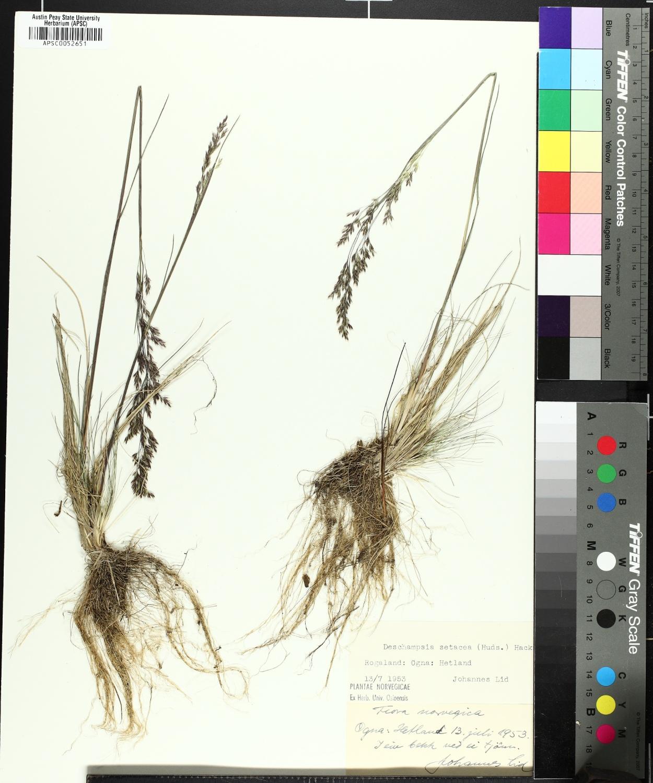 Deschampsia setacea image