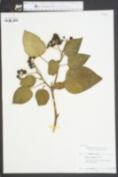 Hedera colchica image