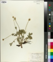 Anemone lithophila image
