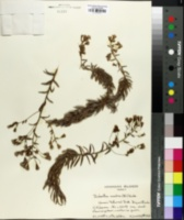Image of Dubautia scabra