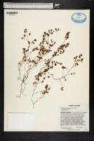 Image of Chamaesyce cordifolia