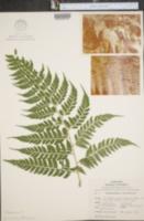 Image of Dennstaedtia obtusifolia