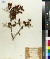 Image of Schinus myrtifolia