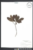Image of Morella caroliniensis