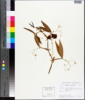 Lathyrus latifolius image