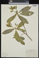 Image of Magnolia viginiana