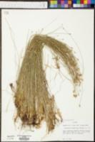 Eleocharis tuberculosa image