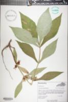 Triosteum angustifolium image
