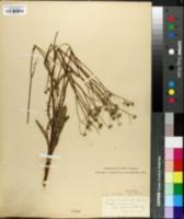 Crepis capillaris image