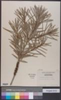 Image of Callistemon coccineus