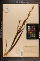 Image of Sisyrinchium strictum