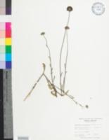 Image of Gaillardia aestivalis