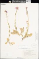 Arabis blepharophylla image