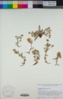 Potentilla millefolia image