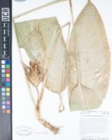 Image of Calathea hylaeanthoides