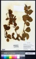 Image of Berberis amurensis