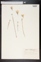 Zephyranthes citrina image