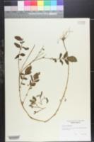 Image of Solanum demissum