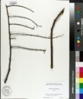 Koelreuteria bipinnata image