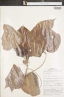 Image of Croton lechleri