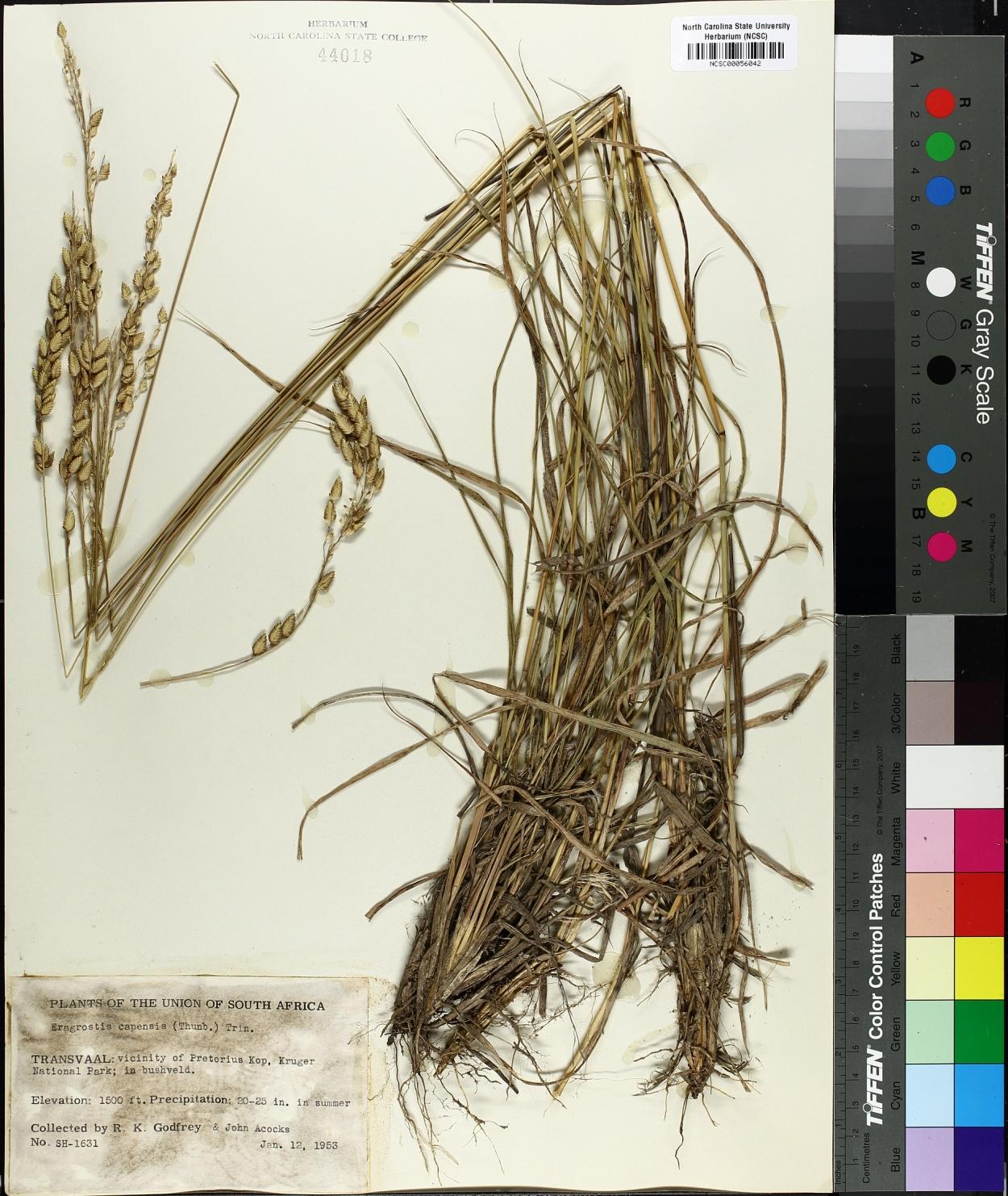 Eragrostis capensis image