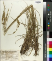 Image of Eragrostis capensis