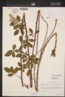 Rubus ulmifolius image