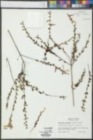 Calamintha coccinea image