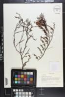Image of Polygonella myriophylla