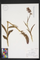 Image of Dactylorhiza maculata