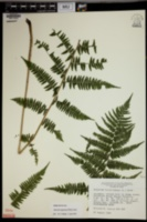 Athyrium angustum image