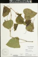 Ampelopsis cordata image