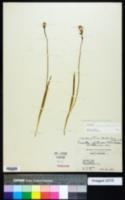 Triantha glutinosa image