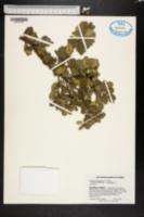 Image of Severinia monophylla