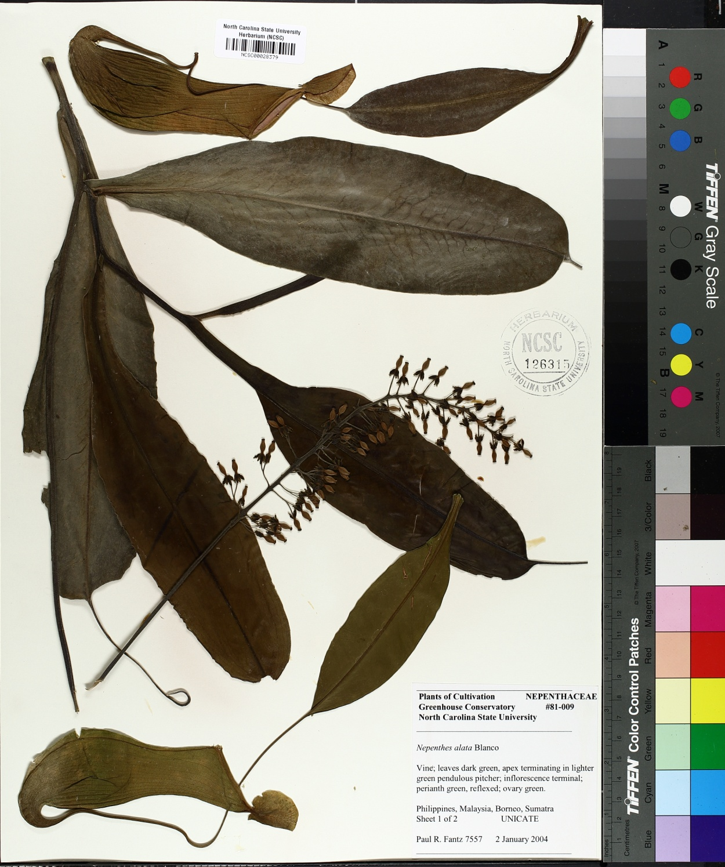Nepenthes alata image
