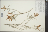 Polygonella americana image