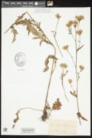 Image of Serratula tinctoria