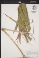 Washingtonia robusta image