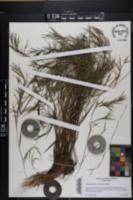 Dichanthelium filiramum image
