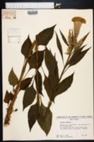 Image of Celosia cristata