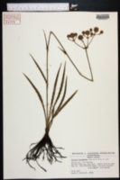 Image of Eryngium synchaetum