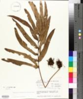 Image of Polypodium fraxinifolium