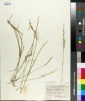 Image of Rytidosperma pilosum