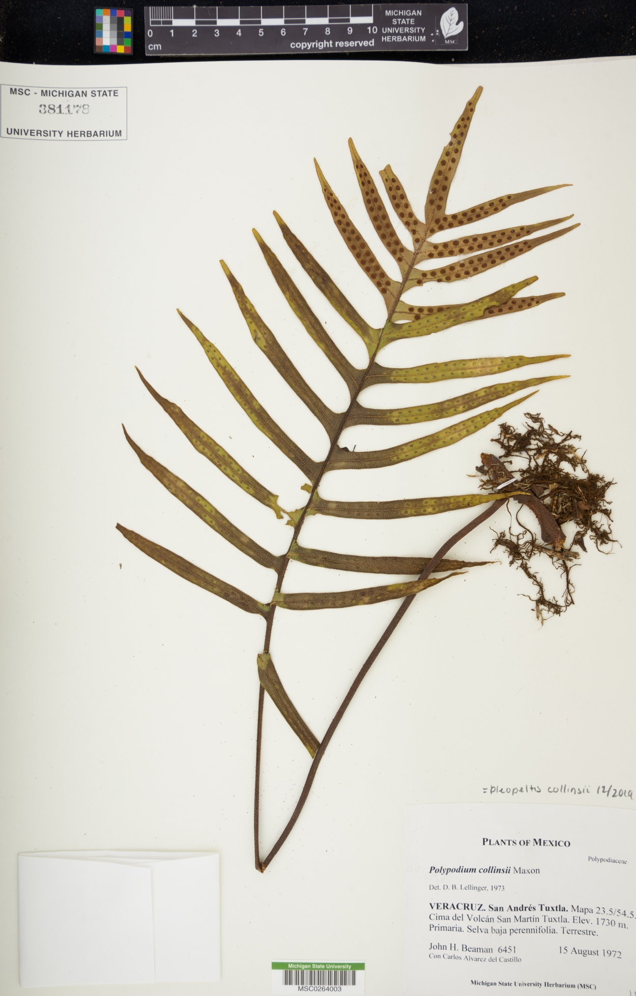 Pleopeltis collinsii image