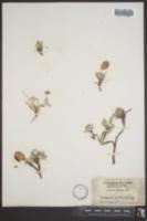 Image of Astragalus platycarpus